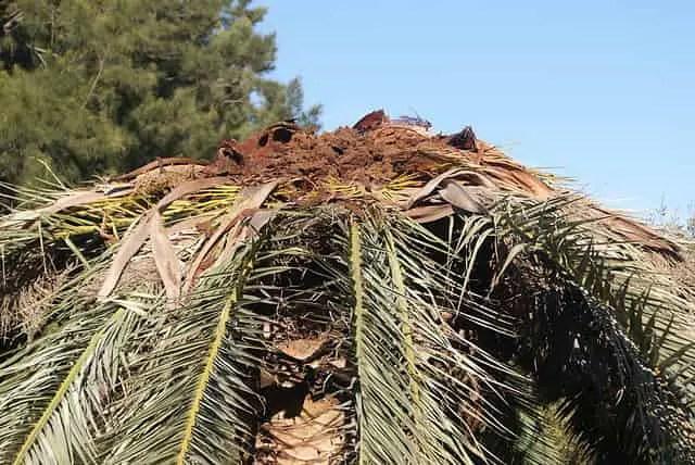 palmier malade qu'il faut traiter avec un produit contre le charançon rouge du palmier