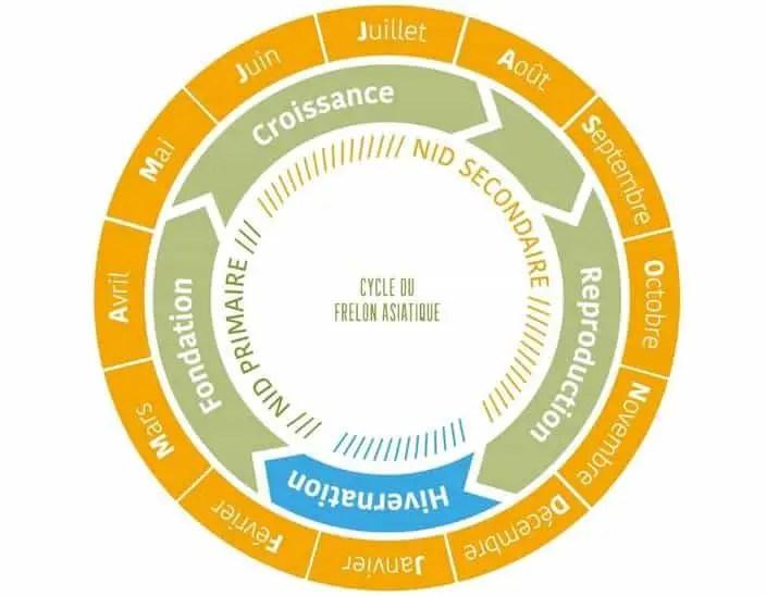 cycle de vie des frelons asiatiques