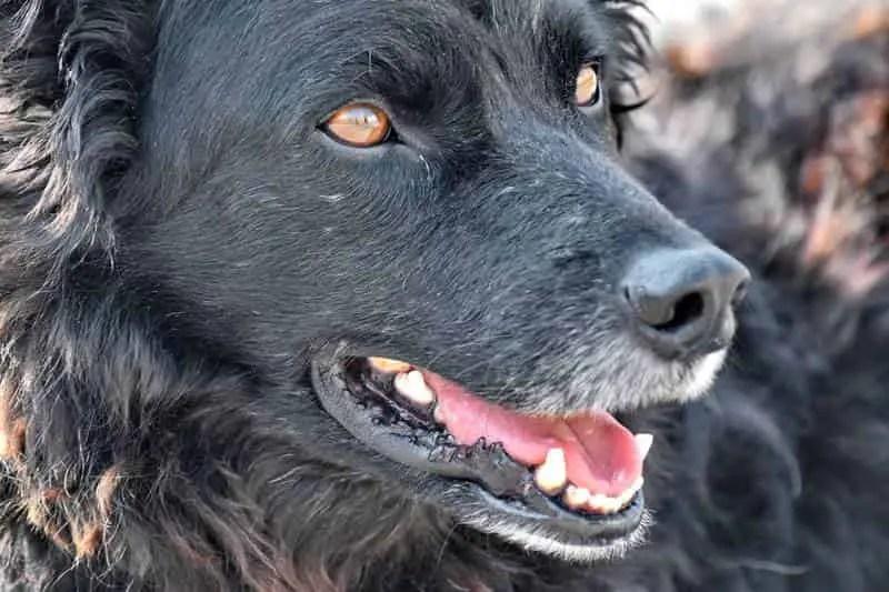 langue de chien