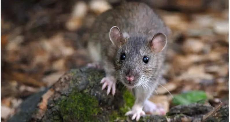 mort-au-rat professionnnelle