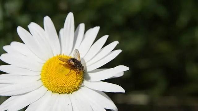 Recette d'insecticide avec du pyrèthre