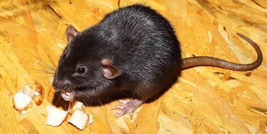 un rat