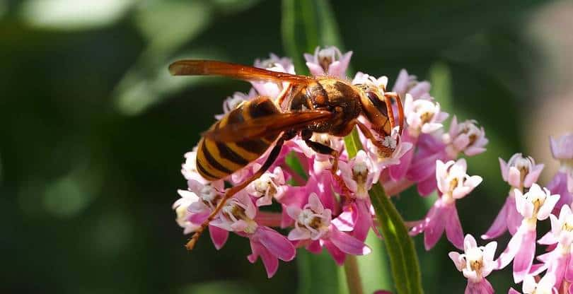 vespa simillima (xanthopterus)