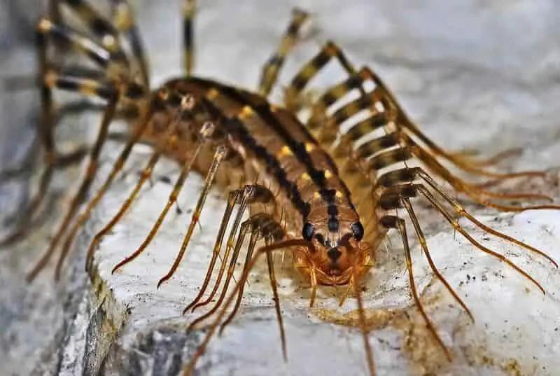 Insecticides pour les mille-pattes de maison