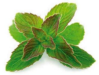 Plante périlla Salvia Nutrition