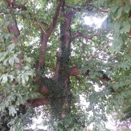 Un arbre autour de l'étang de Marcillé-Robert (35)