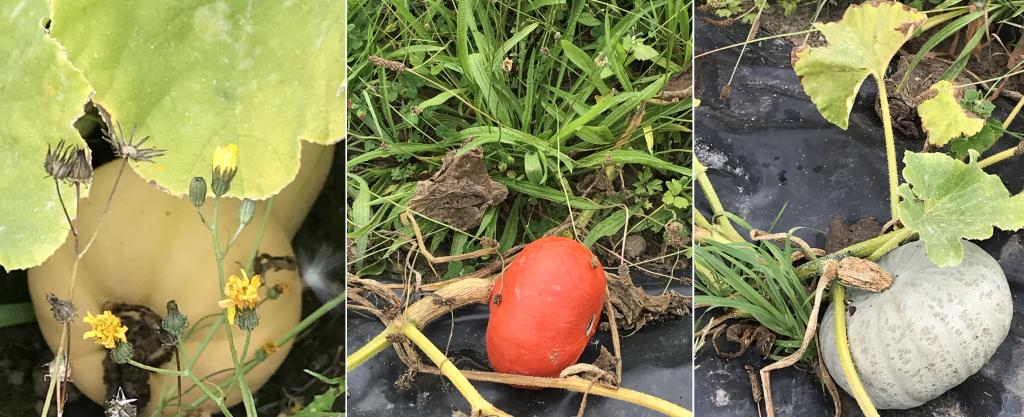 PDT-2018-La Fabrique du Potager-Citrouilles-3-Les papotis de Thalie