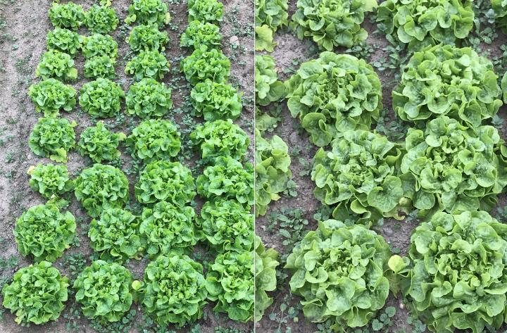 PDT-2018-La Fabrique du Potager-Salades vertes-Les Papotis de Thalie