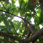 Cabosses sur l'arbre