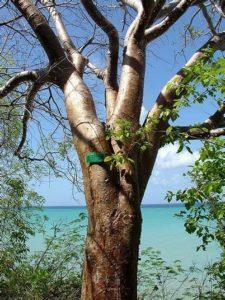 Gommier famille des acacias, mimosa, eucalyptus