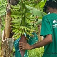 Bananeraie Belfort-étape 1