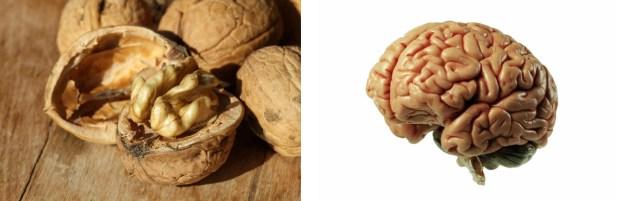 noix-cerveau