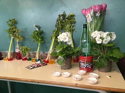 expériences sur des plantes avec du colorant