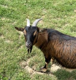 Des petites chèvres