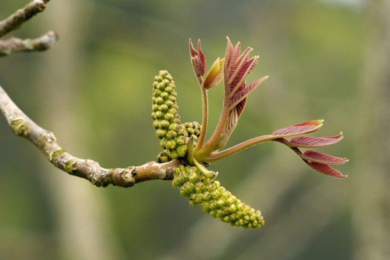 bourgeons de plantes - gemmothérapie
