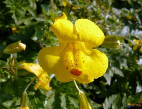 peurs fleurs de bach mimulus