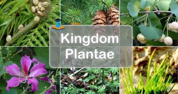 biologi sma - kingdom plantae