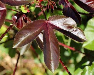 Jatropha CURCAS rouge
