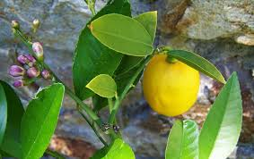 huile-essentielle-citron