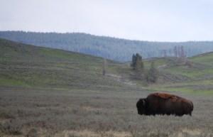 Buffalo in Yellowstone Park