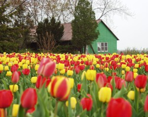 Tulips in Oxford County, Ontario