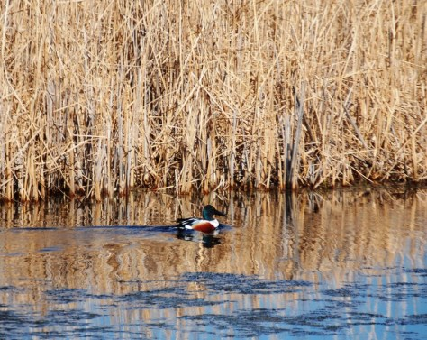 A colorful duck in the rush as seen along ND Hwy 1