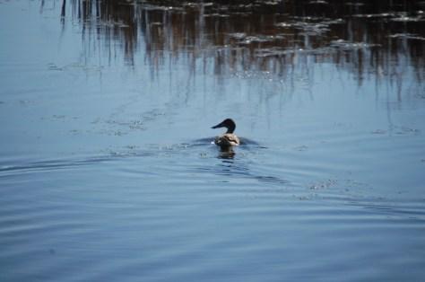 A duck enjoys a swim