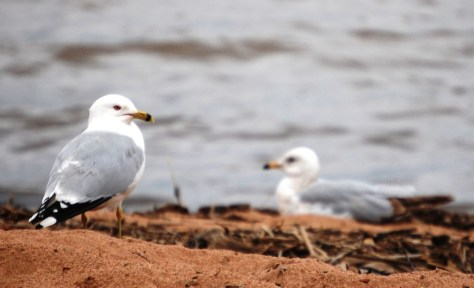 Seagulls relax on the shore of Lake Superior in Ashland, WI