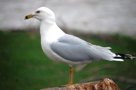 A seagull on Lake Superior in Ashland, WI