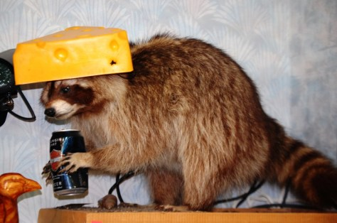 Cheese Head Raccoon at Gronk's in Superior, WI