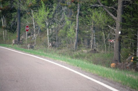 Deer on the roadside in Monarch, Montana