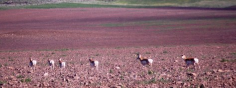 A small family of pronghorn Antelope scamper across a field near Pulis Lane in Wilsall, Montana.