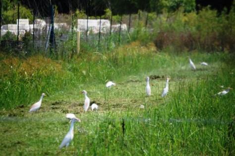 Egrets forage in a field in Pierre Part, LA