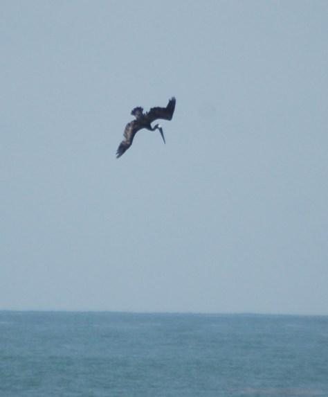 A pelican starts it dive