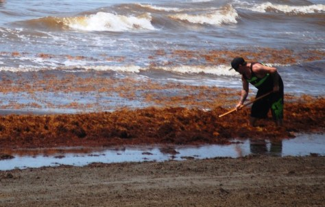 People were hired to clean up all of the messy seaweed on the beaches of Galveston