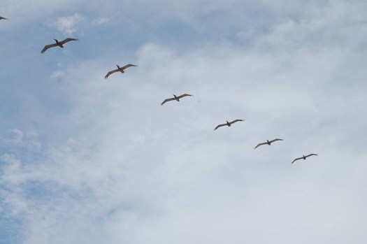 Pelicans fly in formation over the beach in Galveston
