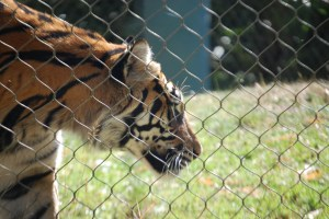 A tiger at the Point Defiance Zoo