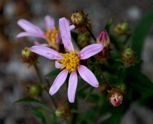 Wildflowers near Tipsoo Lake