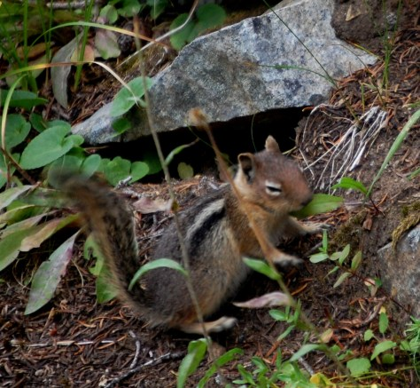 A chipmunk scurries to hide from my camera. Caught it just in time.
