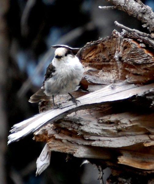 Birds on trail to Tipsoo Lake