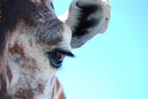 Giraffe Eye taken at Fossil Rim