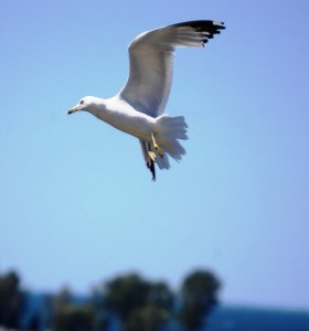 Caught some nice seagull shots in Egg Harbor