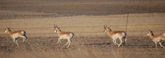 Antelope on the Run