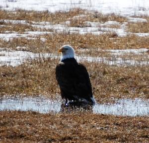 Bald Eagle in field east of Lewistown