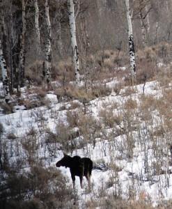 Moose on Gros Ventre Rd.