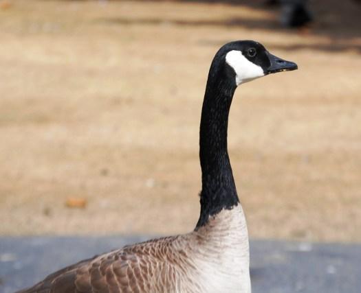 A proud goose