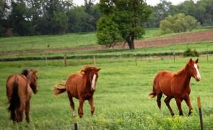 Horses Frolicking near Viborg, SD