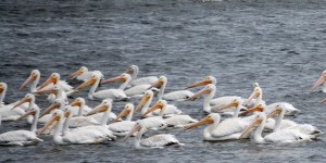 More Pelicans - Lake Andes, SD
