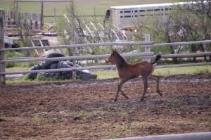 Foal jogging in Belvidere