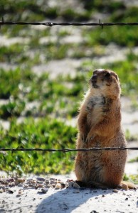 Prairie Dog -- watch for me soon